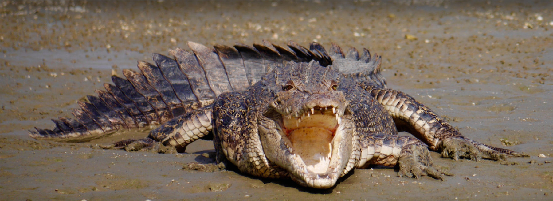 Saltwater crocodile on mudflat with mouth open.