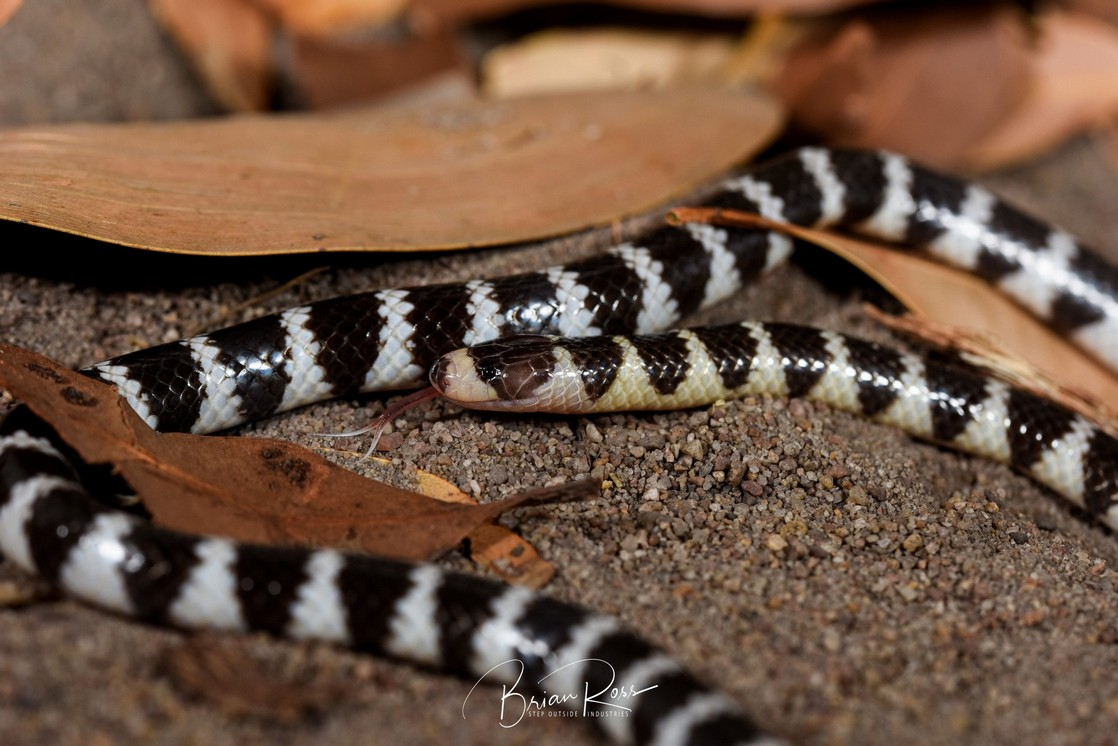 bandy-bandy snake with tongue out