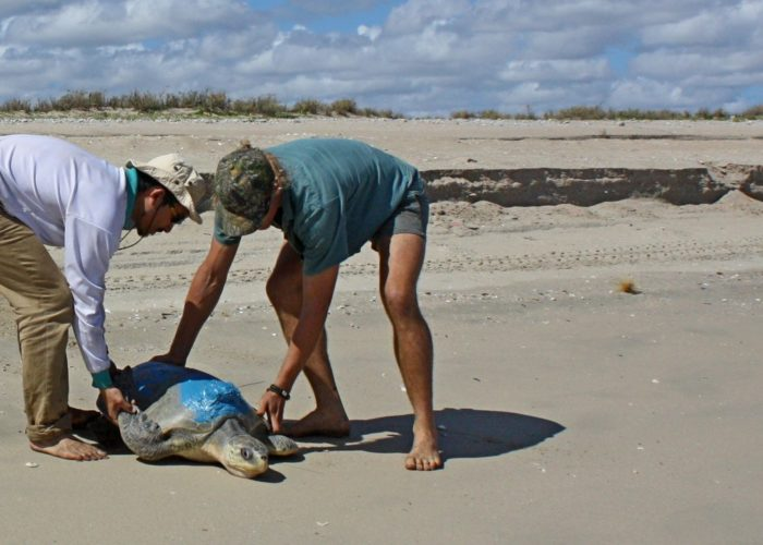 Two men carrying sea turtle
