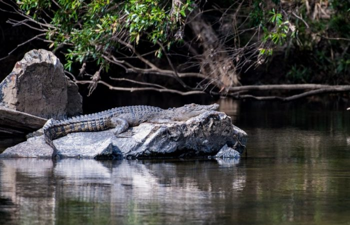 saltwater crocodile basking in the sun on a rock at Wujal Wujal falls