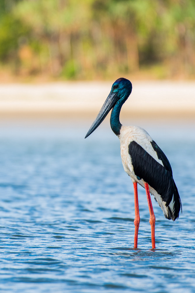 large stork in water