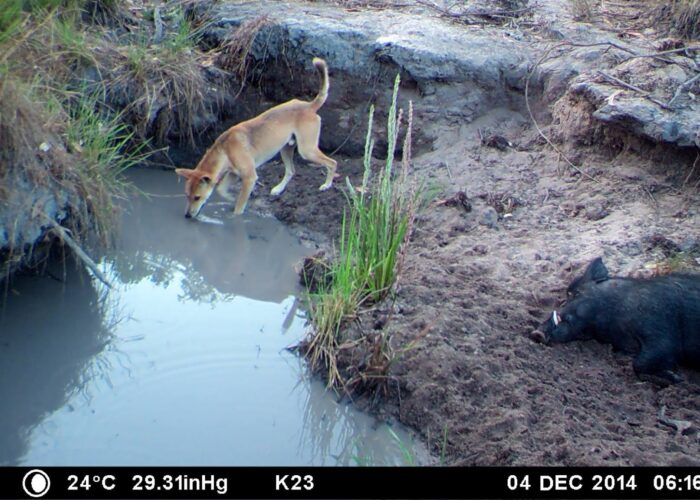 pig and dingo on cape york waterhole
