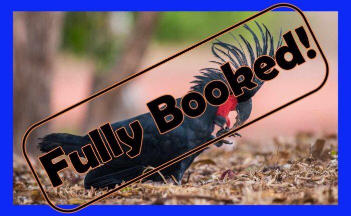 palm cockatoo eating a seed